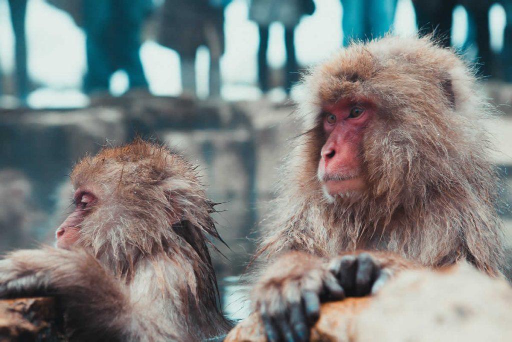 Monos en Jigokudani